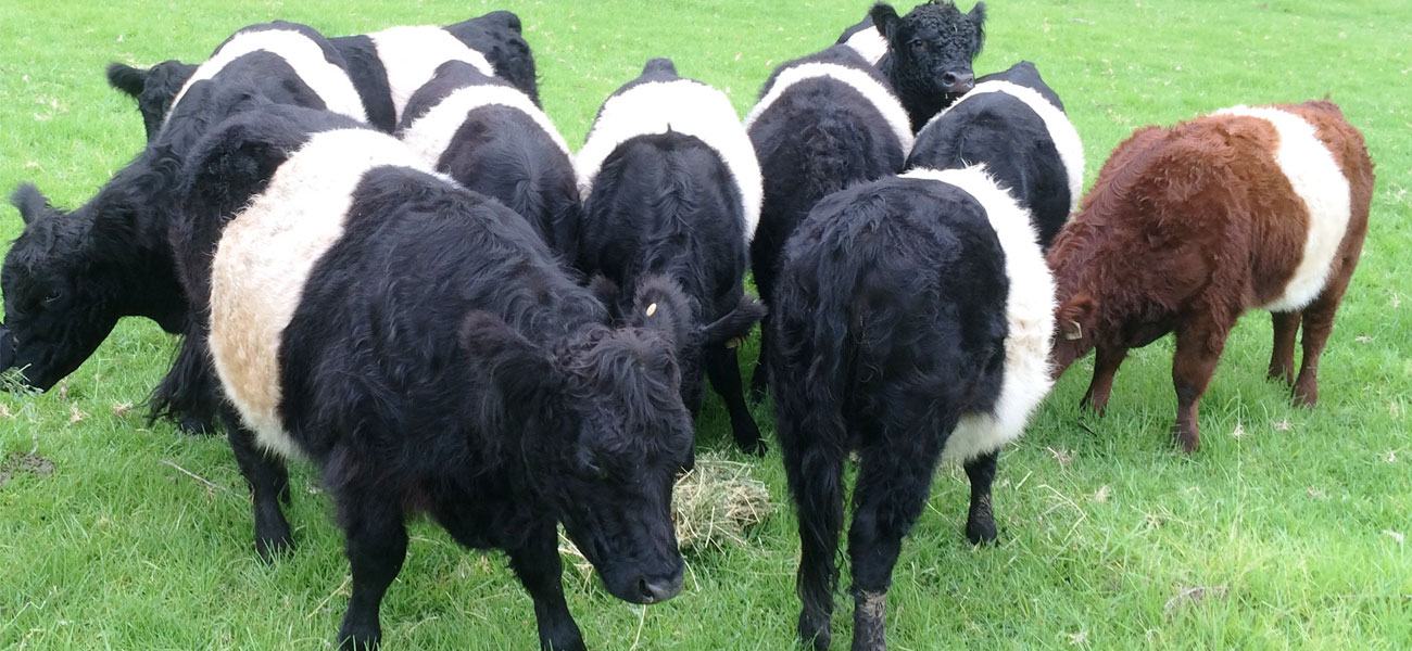 Martins-Ridge-Food-Belties-in-the-paddock-2