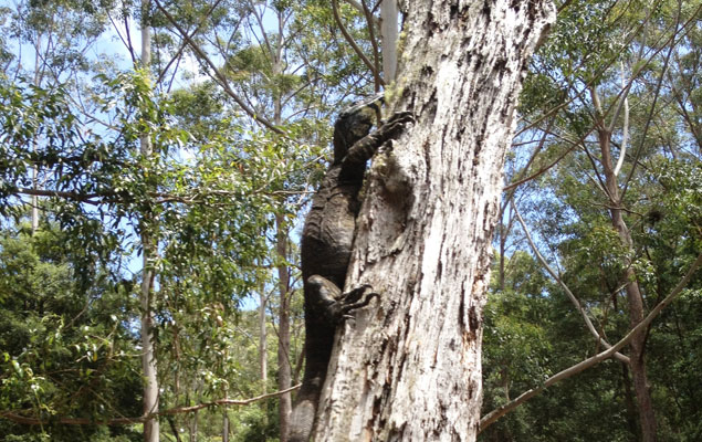 Goanna in the tree at Martins Ridge Food